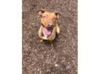 Adopt Teal a Brown/Chocolate Mixed Breed (Large) / Mixed dog in Chamblee