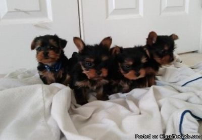12weeks old Yorkie puppies Available