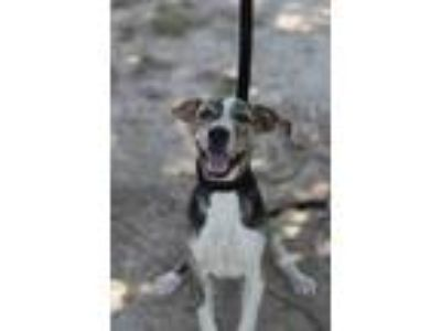 Adopt Bronco JuM a Brindle American Pit Bull Terrier / Beagle / Mixed dog in Von