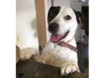 Adopt Layla a Black - with White Labrador Retriever / Staffordshire Bull Terrier