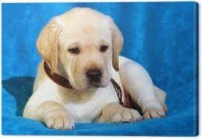AKC labrador out for sale