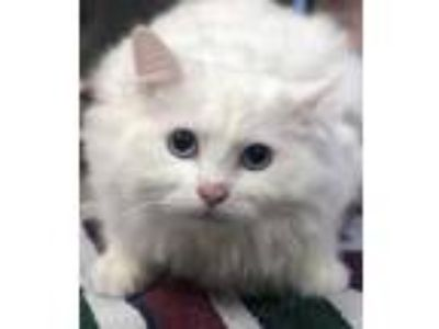 Adopt Kettle Corn a White Domestic Longhair / Domestic Shorthair / Mixed cat in