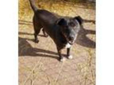 Adopt Petey a Black Labrador Retriever