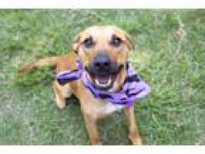 Adopt BUNNY a Brown/Chocolate - with White Rhodesian Ridgeback / Mixed dog in
