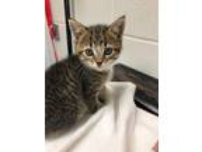 Adopt Catywampus a Domestic Short Hair