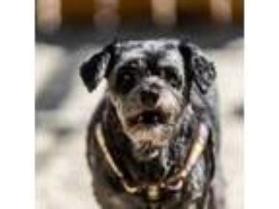 Adopt Harleigh a Miniature Poodle, Mixed Breed