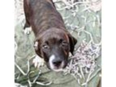 Adopt Percy a Brindle Hound (Unknown Type) / American Pit Bull Terrier / Mixed