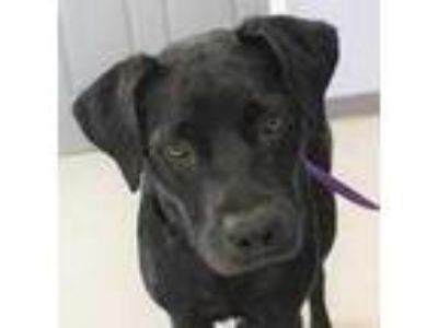 Adopt Raine a Black Labrador Retriever / Mixed dog in Columbia, SC (25592215)