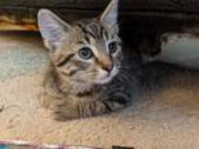 Adopt Hypno a Tiger Striped Bengal (medium coat) cat in Hainesville