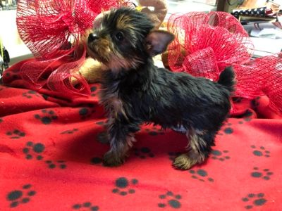 Yorkshire Terrier PUPPY FOR SALE ADN-108862 - Yorkie Puppies AKC REGISTERED Females