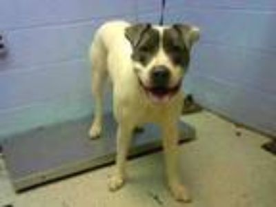 Adopt GOLIATH a Pit Bull Terrier