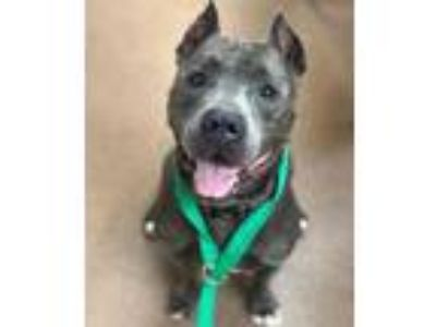 Adopt Javy a Gray/Blue/Silver/Salt & Pepper Mixed Breed (Large) / Mixed dog in