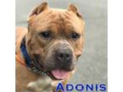 Adopt Adonis a American Staffordshire Terrier, Pit Bull Terrier