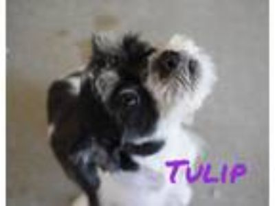 Adopt Tulip a Shih Tzu, Mixed Breed