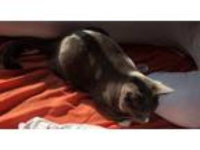 Adopt Charcoal a Gray or Blue American Shorthair / Mixed cat in Sun Valley