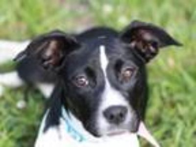 Adopt Zena a Border Collie, Boston Terrier