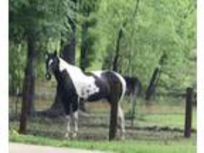 GG Otoes Dble Doc Black Paint Tobiano Mare