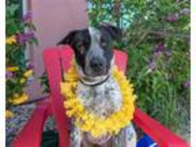 Adopt Rico a Australian Cattle Dog / Labrador Retriever / Mixed dog in Golden