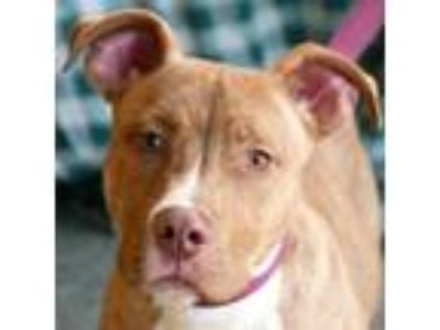 Adopt Taz a American Staffordshire Terrier, Boxer