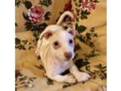 Adopt Denny a Jack Russell Terrier, Dachshund