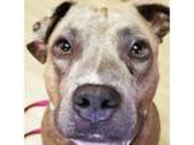 Adopt Pickles *FOSTER NEEDED* a American Staffordshire Terrier, Pit Bull Terrier