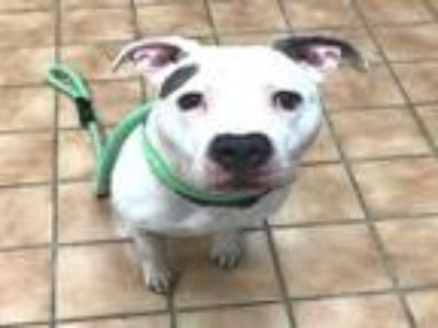 Adopt BAILEY a Staffordshire Bull Terrier