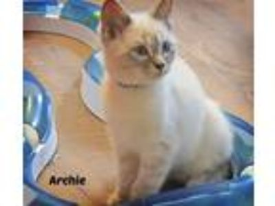 Adopt Archie a Cream or Ivory (Mostly) Domestic Shorthair (short coat) cat in