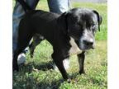 Adopt HipHop a Black - with White Labrador Retriever / Terrier (Unknown Type