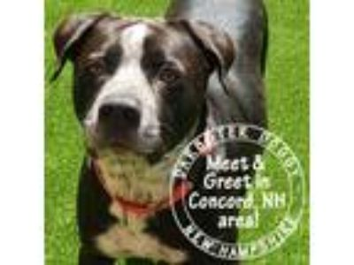Adopt Tim a Black - with White Labrador Retriever / Mixed dog in Manchester