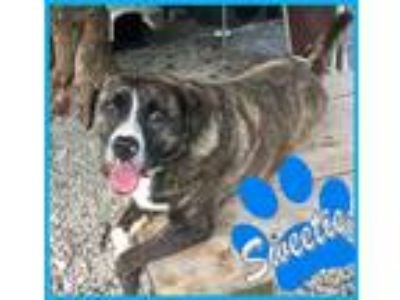 Adopt Sweetie a White - with Brown or Chocolate Boxer / Labrador Retriever /