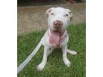 Adopt Winter a Pit Bull Terrier