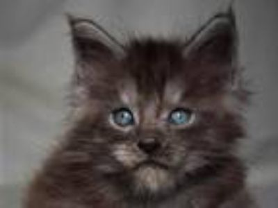 Bart Maine Coon In A Black Smoky Color