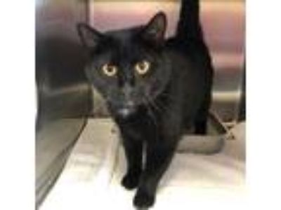 Adopt Waffles a All Black Domestic Mediumhair / Domestic Shorthair / Mixed cat