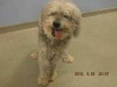 Adopt DOLL a Poodle, Mixed Breed