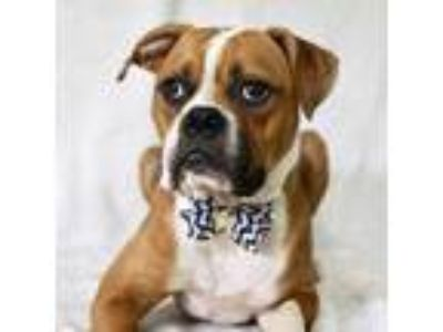 Adopt Splinter a Brown/Chocolate Boxer / Mixed dog in Picayune, MS (25837957)