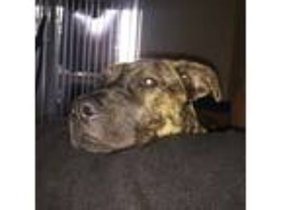 Adopt Sizzah a Brindle Labrador Retriever / Border Collie dog in Tampa