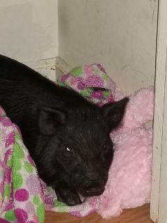juliani pig