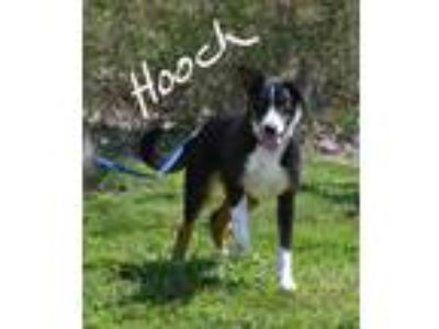 Adopt Hooch a Black - with White Beagle / Mixed Breed (Medium) / Mixed dog in
