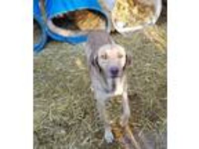 Adopt Serena a Labrador Retriever, Black Mouth Cur