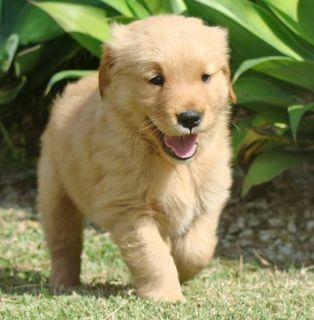 Golden Retriever PUPPY FOR SALE ADN-113537 - We have male and female Golden Retriever