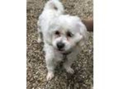 Adopt Max a White Bichon Frise / Mixed dog in Lowell, MA (25264876)