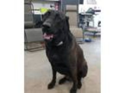 Adopt Waldo a Labrador Retriever, German Shepherd Dog