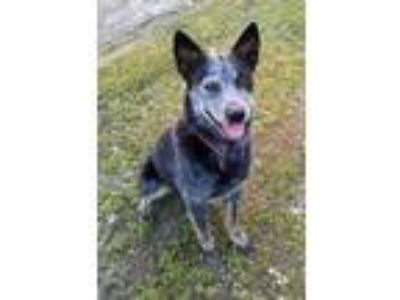 Adopt Perry a Australian Cattle Dog / Blue Heeler