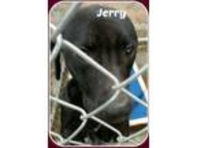 Adopt JERRY a Black Labrador Retriever / Mixed dog in Malvern, AR (20602465)