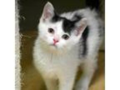 Adopt Kit Cat a White Domestic Shorthair cat in Escanaba, MI (25368815)