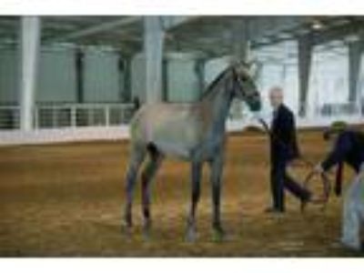 25 Off Holiday Sale 2018 PRE Andalusian Colt wImported Qualified Lines