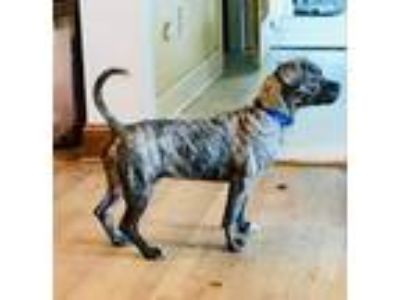 Adopt Bennett a Boston Terrier / Plott Hound / Mixed dog in Raleigh