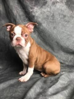 Annie Female Boston Terrier AKC