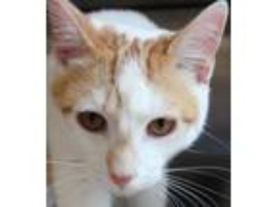 Adopt Ollie a Orange or Red (Mostly) Domestic Shorthair / Mixed (short coat) cat