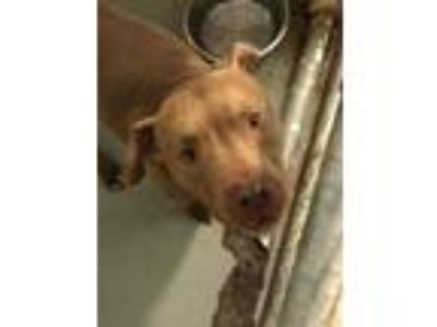 Adopt Capone a Pit Bull Terrier